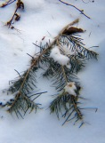 Pine bough in the snow